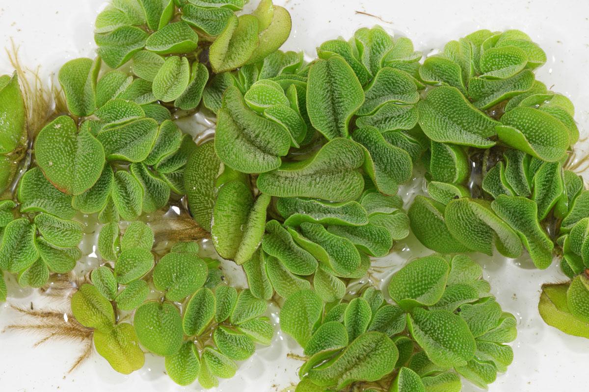 Kariba Weed