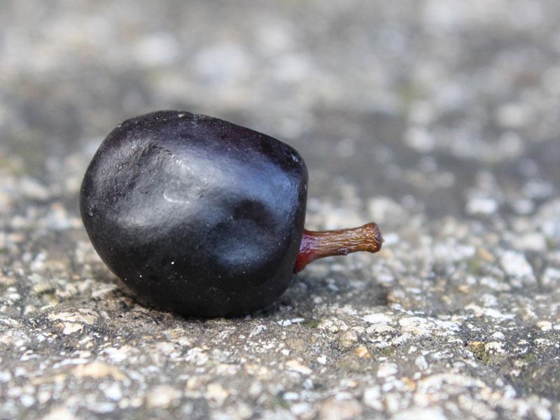 Laurel cherry