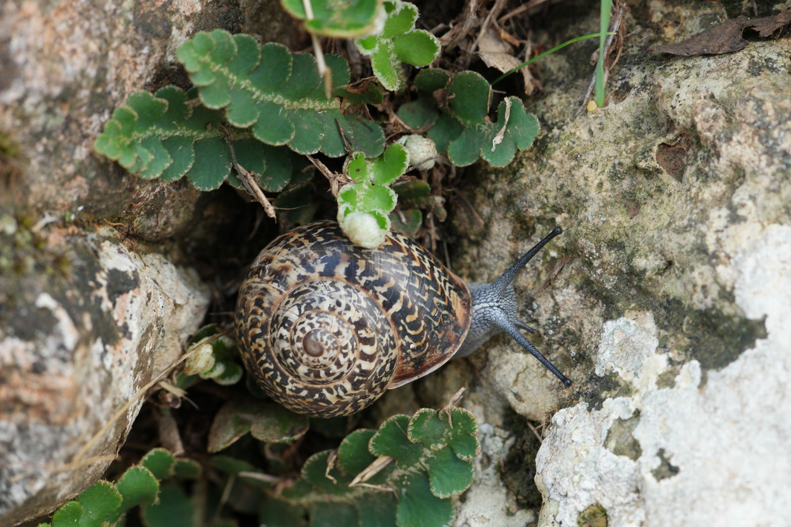 Massylaea vermiculata