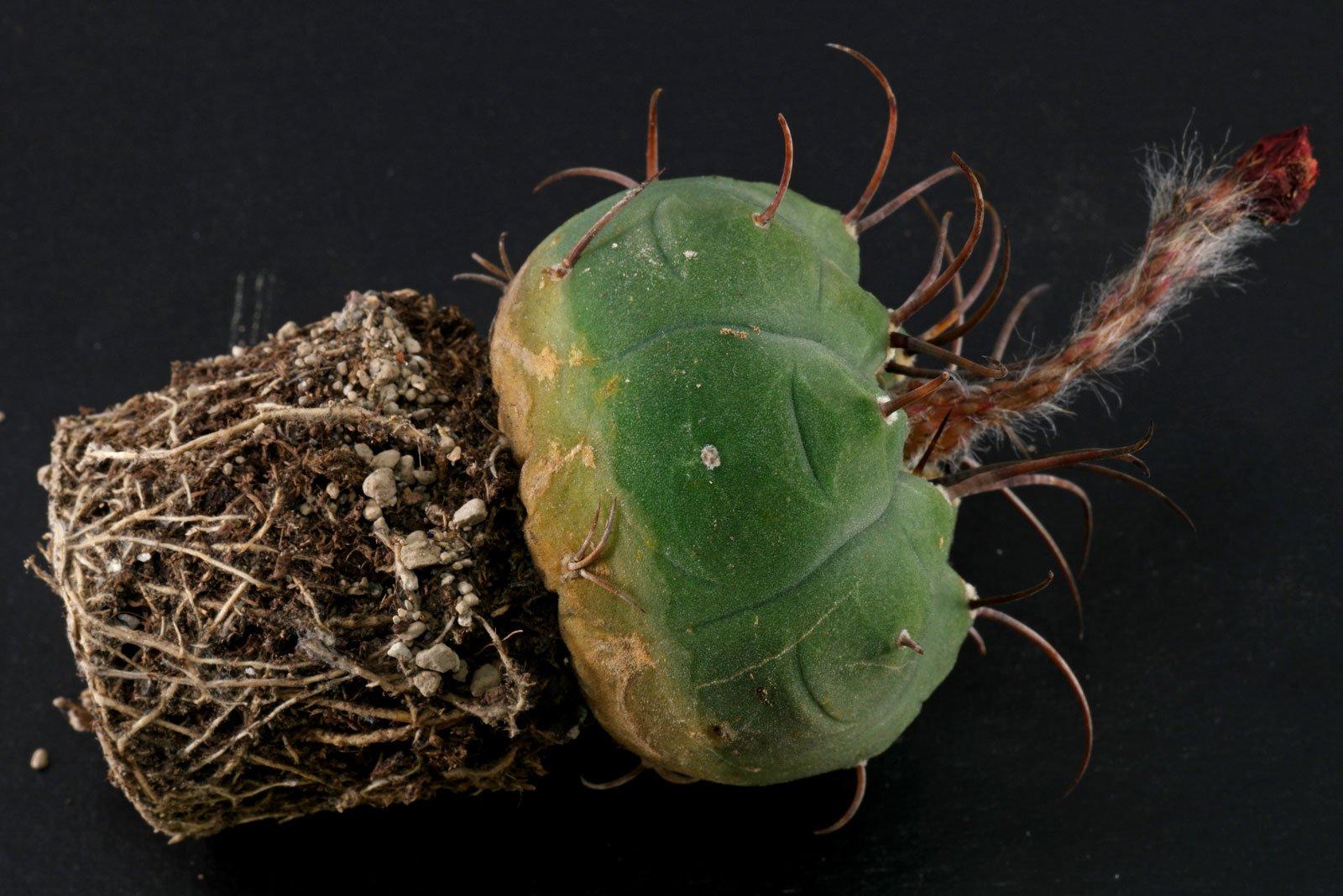 Matucana madisoniorum
