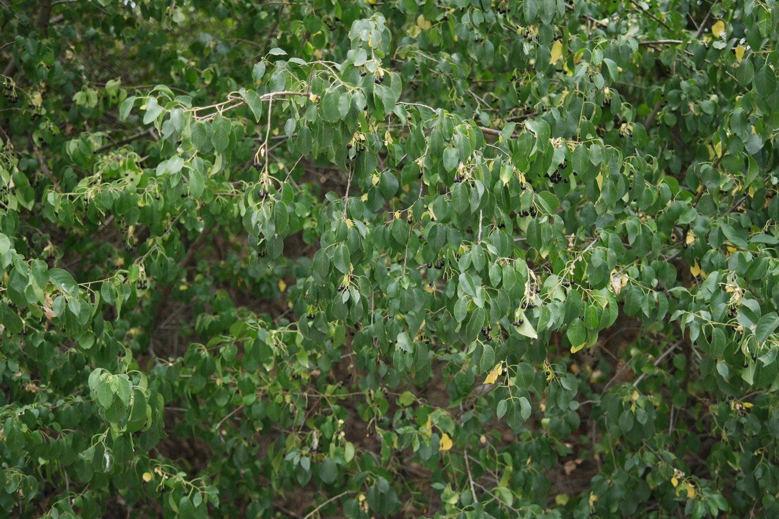 Prunus mahaleb