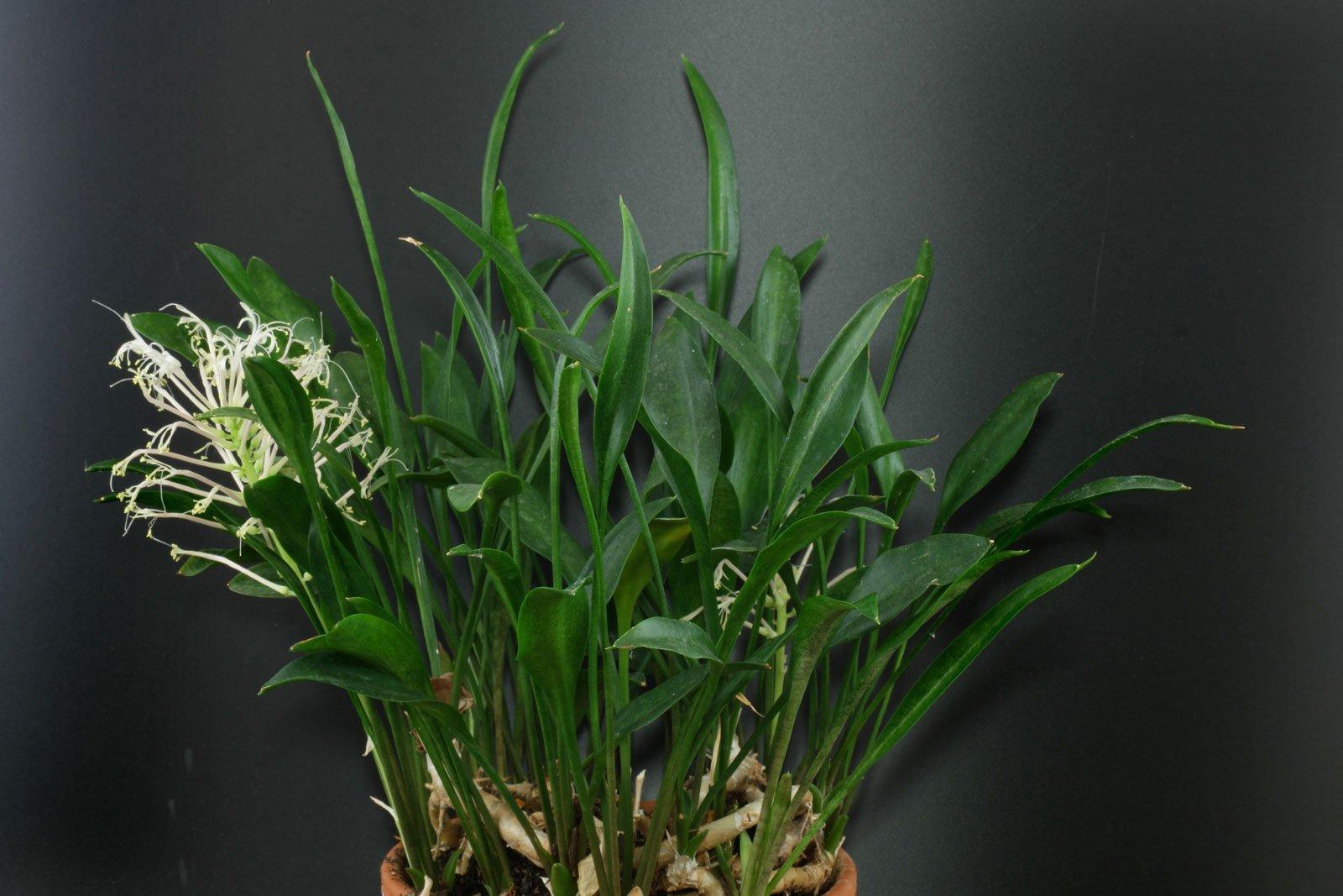 Sansevieria concinna 8