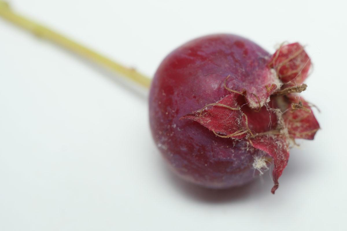 Sarvisberry
