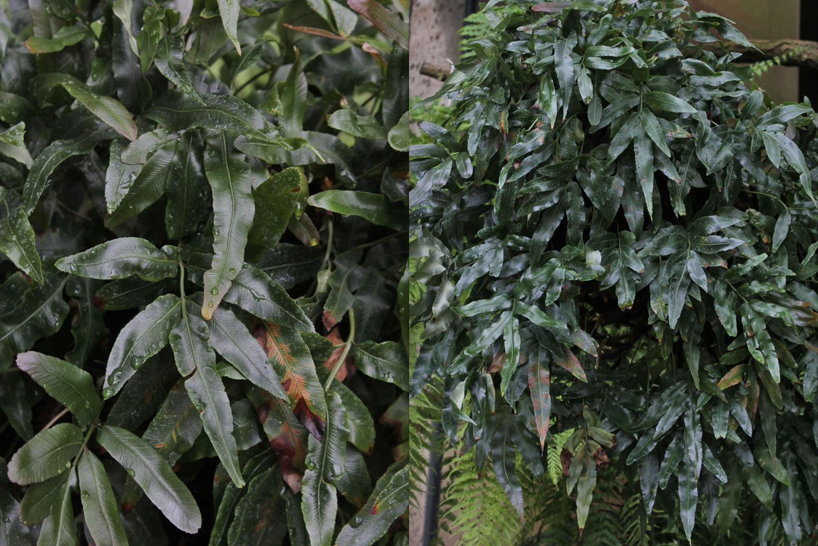 Scyphularia pentaphylla