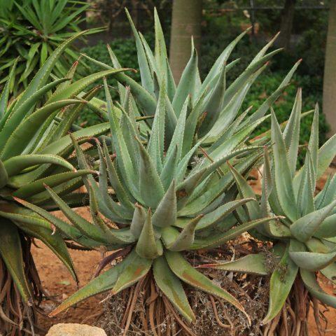 Aloe marlothii