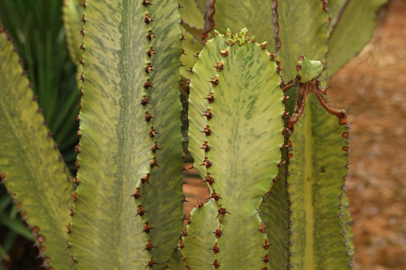 Euphorbia ammak Variegata