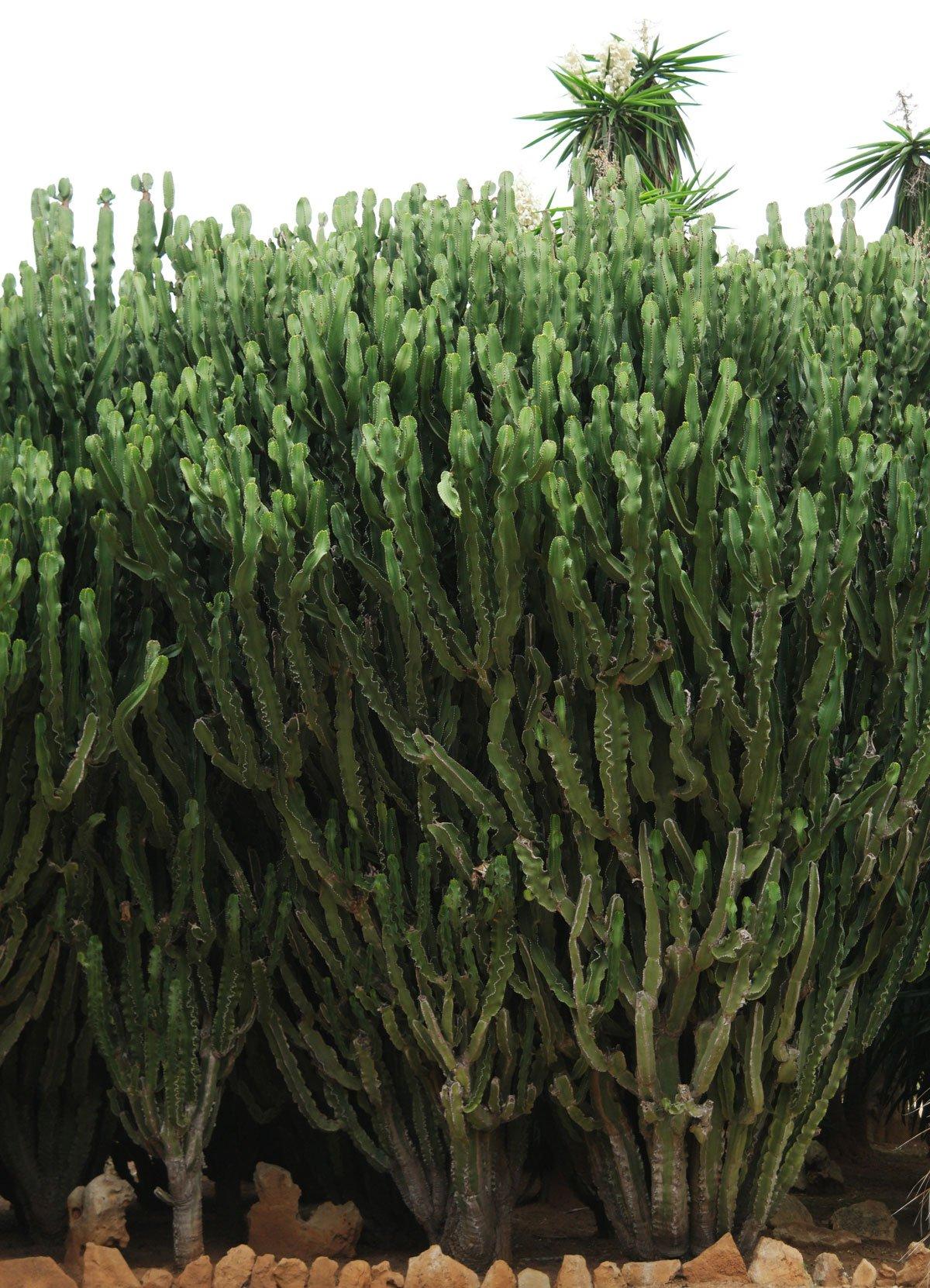 Euphorbia ingens