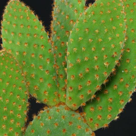 Opuntia microdasys Rufida 1