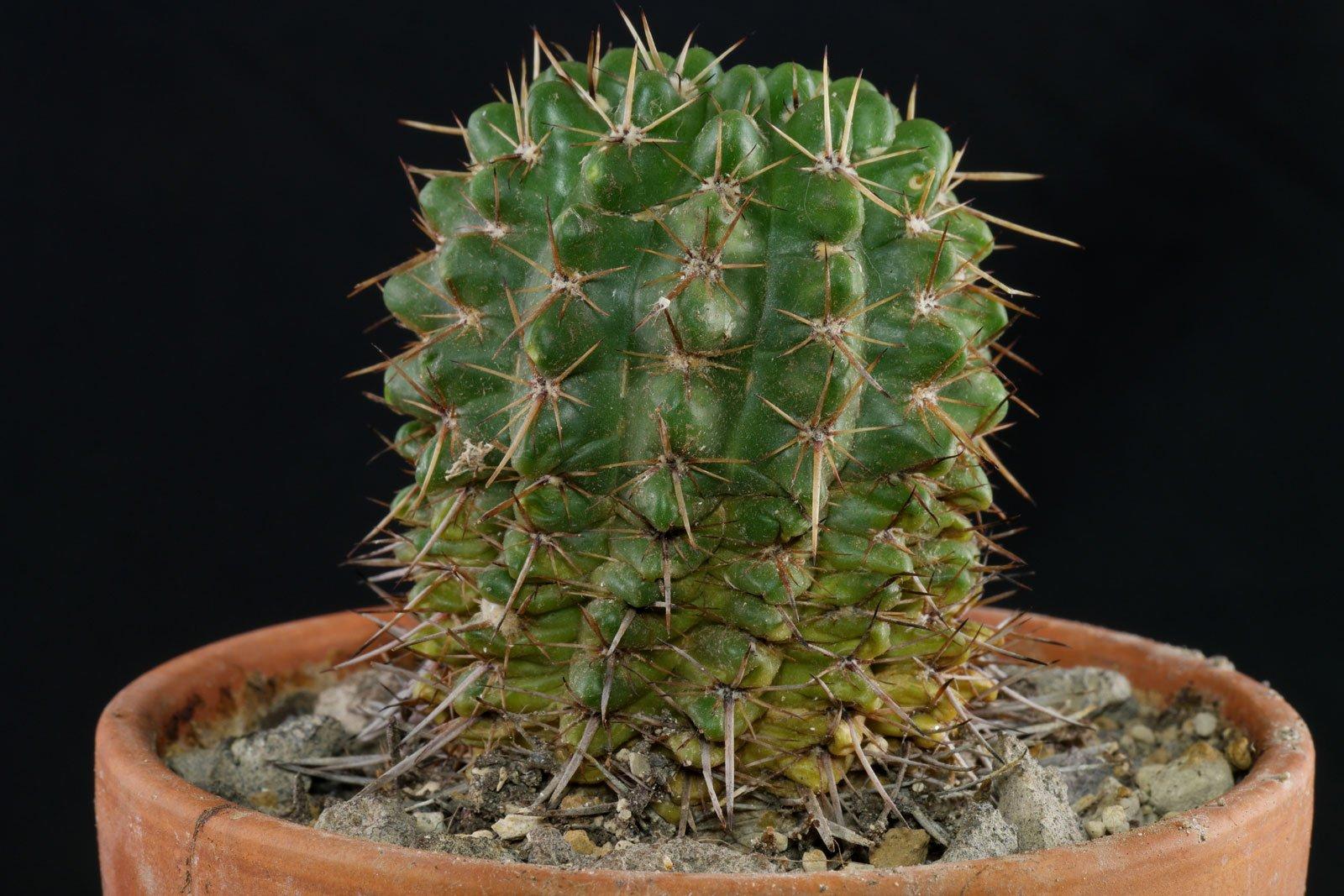 Parodia mammulosa ssp submammulosa
