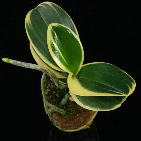 Phalaenopsis Sogo Vivien Variegata 1