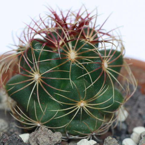 Thelocactus bicolor