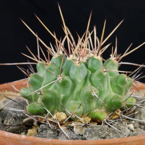 Thelocactus rinconensis